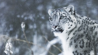 The Secret Lives of Snow Leopards