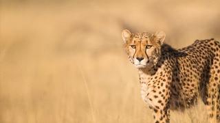 The Secret Lives of Cheetahs