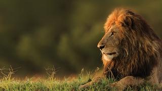 The Secret Lives of Lions