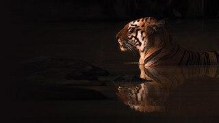 The Secret Lives of Tigers